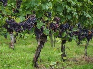 Grapes03