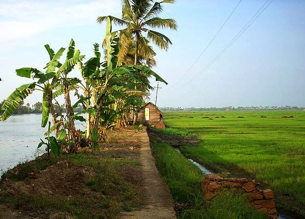 kuttanad-fields3